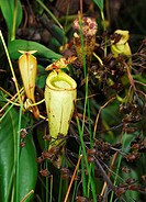 Pitcher Plant (Nepenthes madagascariensis)