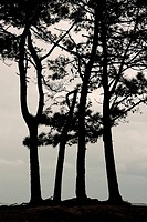 Pine trees by the estuary of Minho River, Portugal