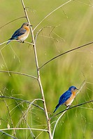 Eastern Bluebird (Sialia sialis), pair on perch