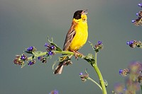 Black_headed Bunting, male, Bulgaria, Emberiza melanocephala