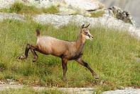 Young Chamois (Rupicapra rupicapra) fleeing