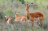Impala (Aepyceros melampus) doe with calves, Samburu National Reserve, Kenya, East Africa, Africa