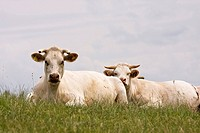Two Charolais cows lying in a meadow