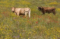 Cows standing in a flower meadow in Sardinia, Italy, Europe