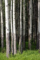 Stand of poplar trees, green grass. Rocky Mountains. Alberta. Canada