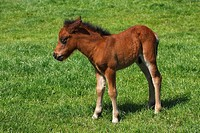 Young Shetlandpony (Equus przewalskii f. caballus), foal