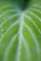 Variegated leaf, extreme close-up