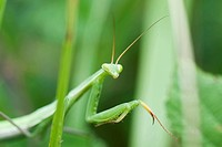 Praying Mantis partially concealed by greenery
