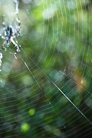 Large spider web with spider waiting in center (thumbnail)