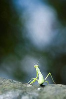 Praying Mantis seated on rock, rear view