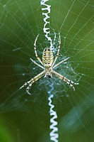 Yellow Garden Spider argiope aurantia in center of web waiting for prey