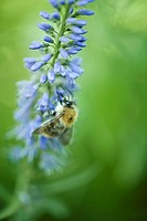European dark bee apis mellifera mellifera gathering pollen from blue flower