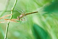 Dragonfly perched precariously atop seeded tops of tall grass