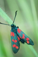 Six-spot burnet moth zygaena filipendulae perched on blade of grass