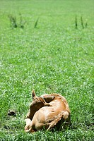 Calf curled up on the ground