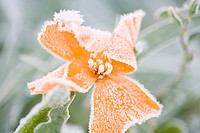 Frost on an orange flower