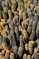 Lava cacti Brachycereus nesioticus. This cactus is endemic to the Galapagos island of Bartolome, where it grows on lava fields. It has soft spines and...