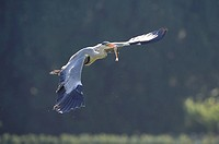 Grey Heron (Ardea cinerea) in flight holding prey in its beak