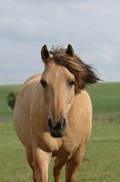 Beige half-breed horse galloping forward