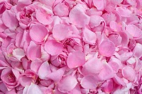 Pink Provence Rose or Cabbage Rose petals (Rosa x centifolia) gathered for medicinal use, Taubertal Valley, Germany