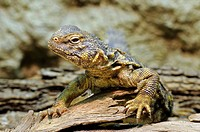 Saharan Spiny-tailed Lizard or Geyr's Dabb Lizard (Uromastyx acanthinurus geyri)