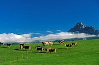 Cows on a meadow near Hopfen, Saeuling, East Allgaeu, Bavaria, Germany, Europe