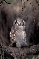 Verreaux's Eagle-owl, Milky Eagle Owl (Bubo lacteus)