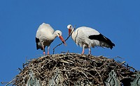 Pair of white storks ciconia ciconia