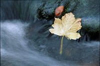 Maple leaf in a stream, autumn, North Tirol, Austria, Europe
