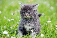 Norwegian Forest Cat, kitten
