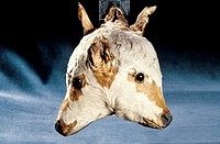 Two_headed calf. This stuffed two_headed calf was born with a birth defect known as bicephalism. When alive, the animal had two separate brains but wa...