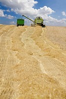 Harvester in barley field