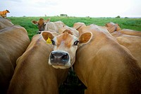Close up of jersey cows in field