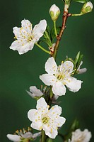 Wild Plum (Prunus domestica) flowers