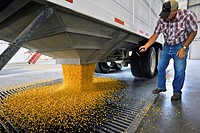 Corn ethanol processing. Corn being unloaded for processing at an ethanol plant in Shenandoah, Iowa, USA. Corn ethanol is a biofuel that is primarily ...