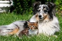 Maine Coon Kitten and Sheltie - Australian Shepherd Mixed-Breed