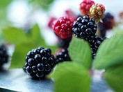 Blackberries and Leaves
