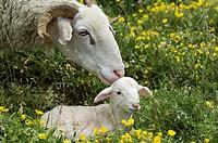 Sheep with lamb, Pyrenean