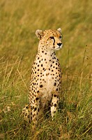 Tanzania, Serengeti National Park, Cheetah Acinonyx jubatus