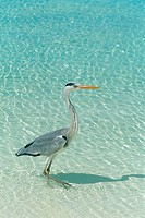 Maldives _ Grey Heron