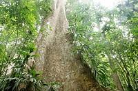 Tree in tropical rainforest, Henri Pittier National Park, Venezuela