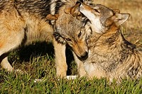Young Gray Wolf diplays affection for the older adult wolf in the pack