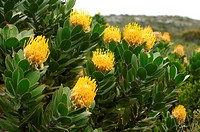 Flowering Pincushion, Protea, Leucospermum spec., South Africa