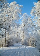 Frozen trees in forest, Worpswede, Teufelsmoor, Lower Saxony, Germany