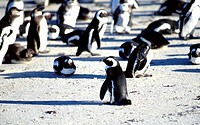 Jackass penguin colony, Boulder Beach, Simons Town, South Africa