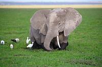 Elephant, Amboseli National Park, Kenya