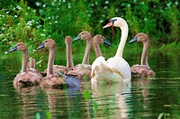 mute swan Cygnus olor with chicks on a pond