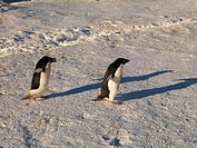 Two Adelie Pénguin (Pygoscelis adeliae) on Franklin Island, Antarctica