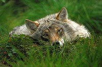 Wolf (Canis lupus) pup resting, Norway, Scandinavia, Europe