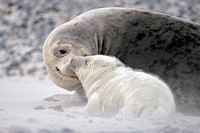 Grey Seal Halichoerus grypus, female with young in sandstorm